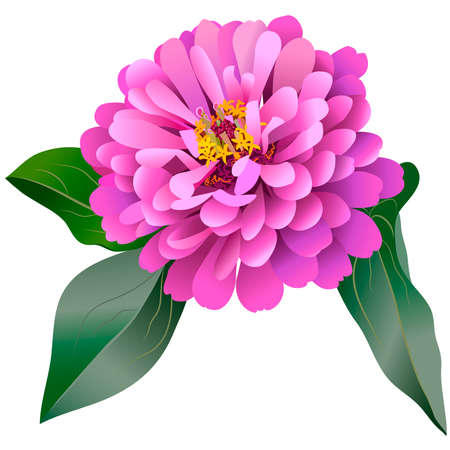 Realistic pink zinnia flower with three leaves