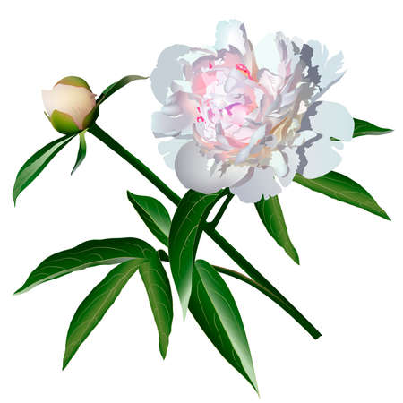 pion: White realistic paeonia flower with leaves and bud