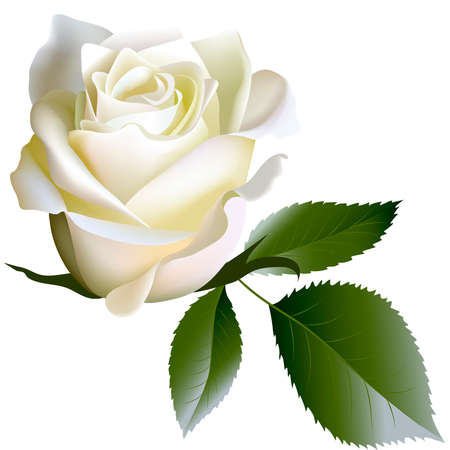 White realistic rose flower and leaves