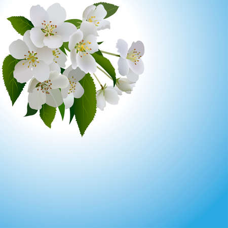 White apple flowers with leaves and bud. Branch of blossoming apple tree