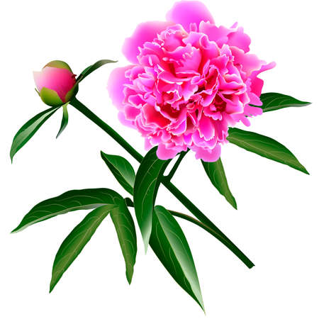 pion: Red realistic paeonia flower with leaves and bud
