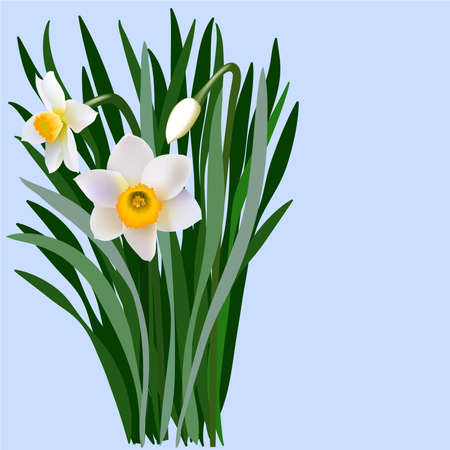 Narcissus flowers with leaves and bud. Bouquet of blossoming narcissus flowers.