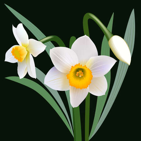 jonquil: Narcissus flowers with leaves and bud