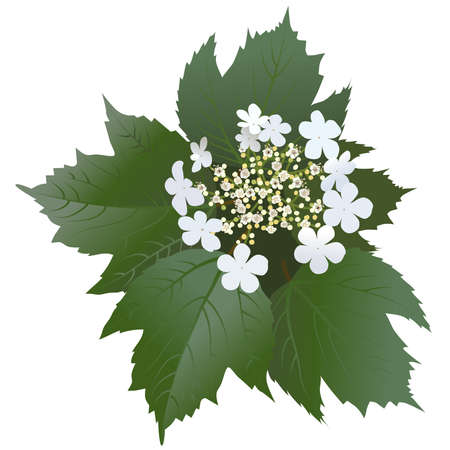guelder rose: White viburnum flowers with leaves and buds. Bunch of blossoming viburnum flowers