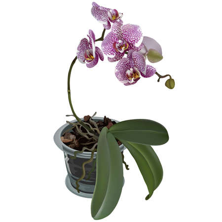 Photorealistic illustration of phalaenopsis at flower pot. Branch of lilac spotted flowers of orchid, leaves and roots