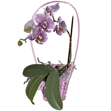 orchid branch: Photorealistic wicker floral basket with orchid. Branch of lilac spotted flowers, leaves and roots