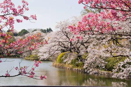 Mitsuike Park in Yokohama, Kanagawa Prefecture trees in full bloom Standard-Bild