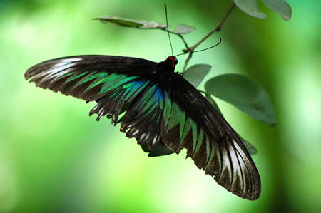 Huge butterfly stay on leaf Stock Photo