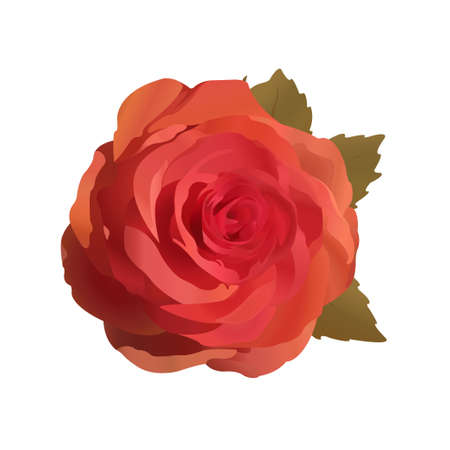 Vector illustration of gentle rose