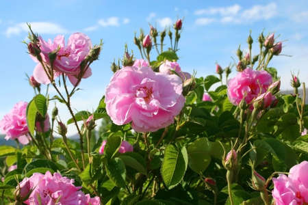 roses in the garden: Beautiful pink roses Stock Photo