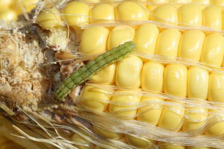 worm on organic maize  Фото со стока