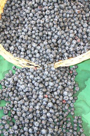 acai: Harvest of fresh acai berries