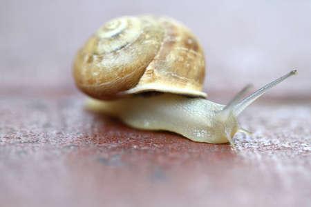 gastropoda: Small snail gliding, very short depth of focus. Latin name: Arianta I arbust
