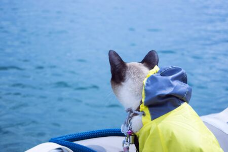 Siamese cat wearing yellow rain coat looking on water  from small boat, maybe goes fishing