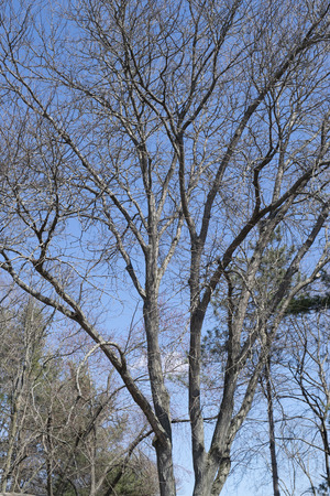 Bare tree branches with blue sky in spring