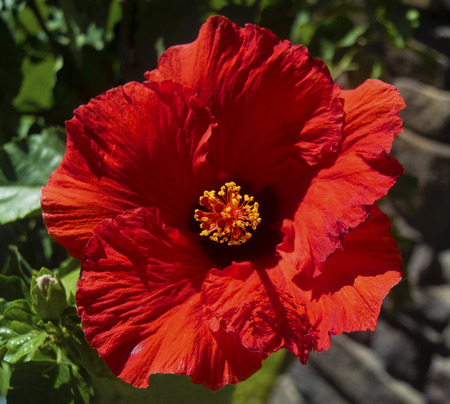 Orange Red Hibiscus Stock Photo