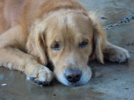 nose: A male golden retriever dog is lying on the floor