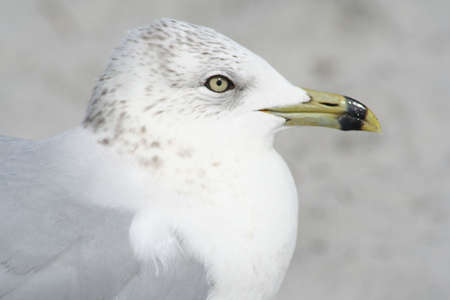 key biscayne: Seagull, Key Biscayne, Fla. Stock Photo