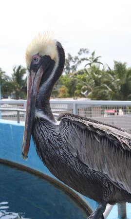 key biscayne: Pelican