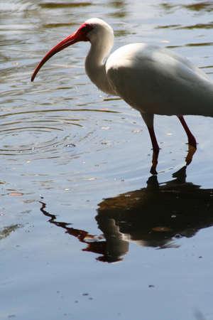 key biscayne: Tropical Bird, Ibis Stock Photo
