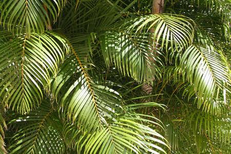 Bladeren van de Palm