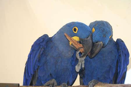 Macaws, hyacinth, parrots Banco de Imagens