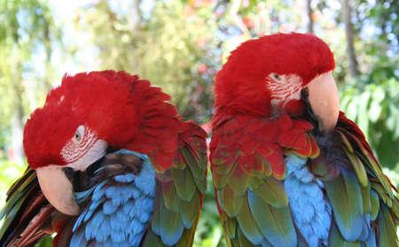 Macaws, Parrots Banco de Imagens