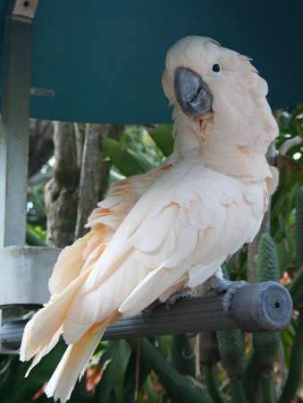 Cockatoo Stock fotó