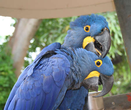 Macaws, Hyacinth photo