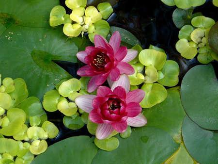 waterlilies: Waterlilies