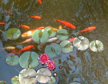 koi: Fish, koi