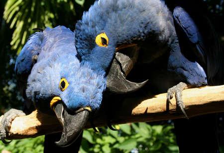 Parrots, hyacinth macaws, in love Banco de Imagens
