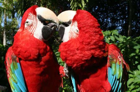 Parrots, scarlet macaws, in love, Miami, Florida Banco de Imagens