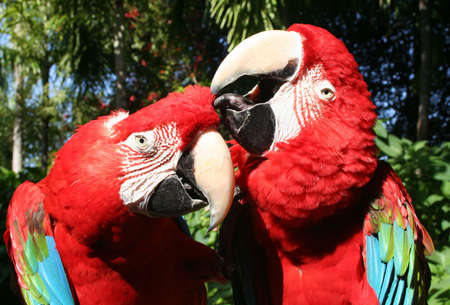 Parrots, scarlet macaws, in love photo