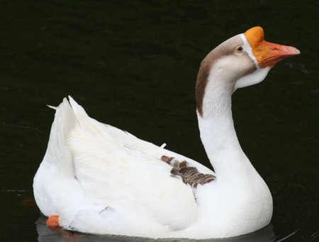 key biscayne: Duck, orange head, Crandon Park Gardens, Key Biscayne, Florida, USA Stock Photo