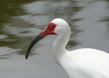 key biscayne: Bird, ibis, tropical, ready to fly, key Biscayne
