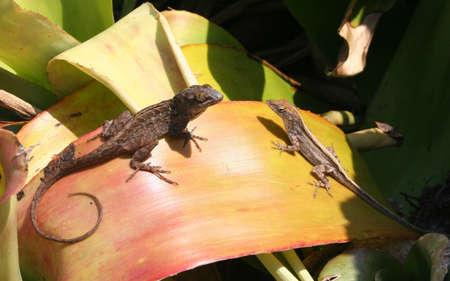 key biscayne: Lizards, having a conversation, Key Biscayne