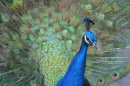 key biscayne: Peacock, on display, Key Biscayne