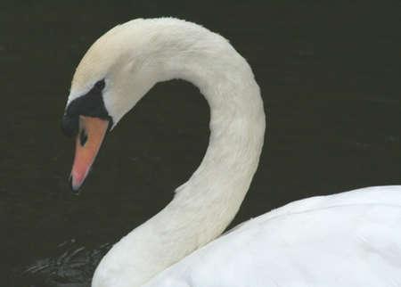 key biscayne: Swan, graceful, Crandon Park Gardens, Key Biscayne Stock Photo