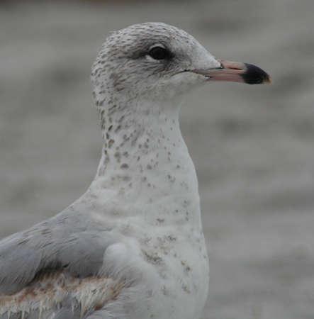key biscayne: Seagull, on Key Biscayne Beach