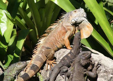 key biscayne: Iguanas on rock, Key Biscayne, Florida Stock Photo