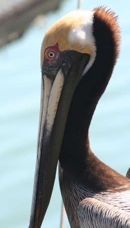 Pelican, Virginia Key