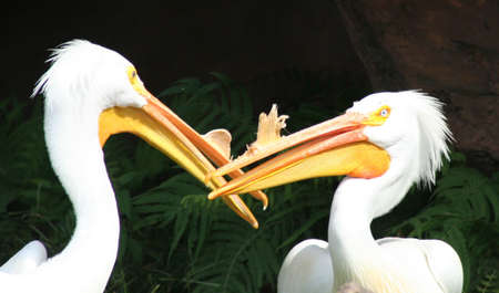 dueling: Pelicans at Miami zoo Stock Photo