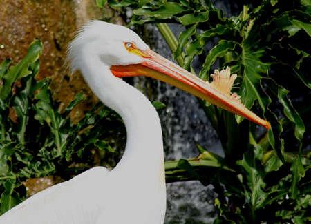 Pelican at Miami Metro Zoo, Miami, Florida