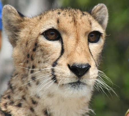 Cheetah at Miami Metro zoo Reklamní fotografie