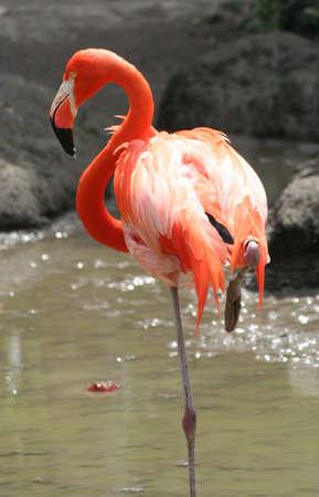 Flamingo at Miami Metro Zoo 版權商用圖片