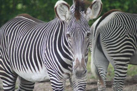 meteo: Zebras at Miami Meteo Zoo
