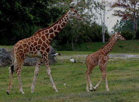 Giraffes at Miami Metro Zoo