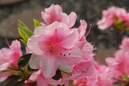azaleas: azaleas, pink