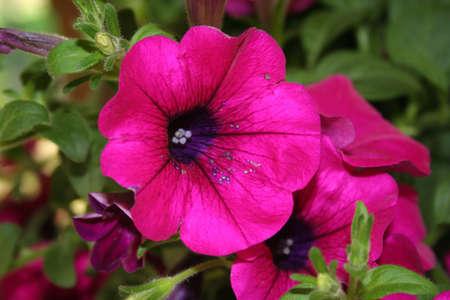 impatiens: flower, impatiens, hanging plant